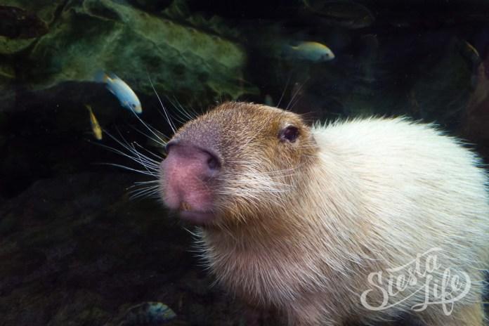 Лоро-парк: капибара плавает под водой
