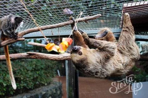 ленивец в Лоро-парке