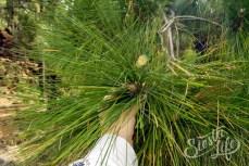 Длинные иглы хвои канарских сосен