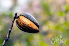 Созревший плод миндаля