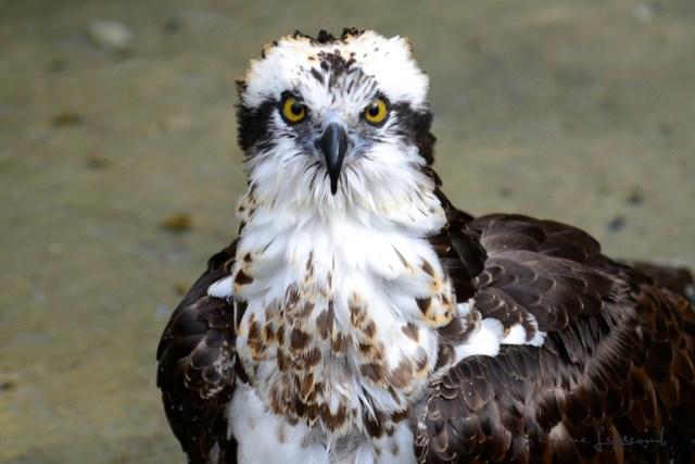 Osprey...image taken in Florida last winter