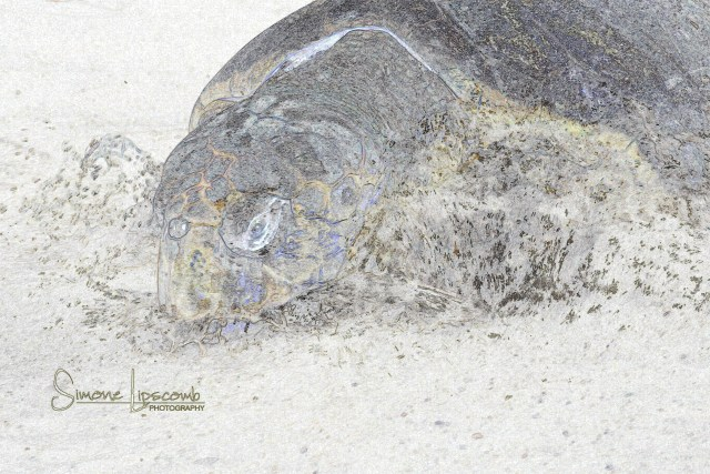 Could this mama imagine the babies that would emerge? Photograph of a sea turtle release after rehab. Photo taken with permission by USFW under conditions that do not harm sea turtles.