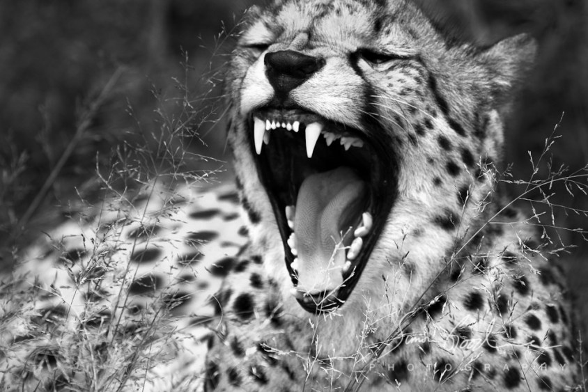 Simon Goodacre Photography Cheetah Yawning Ann van Dyk Cheetah Centre De Wildt South Africa Black and White Teeth