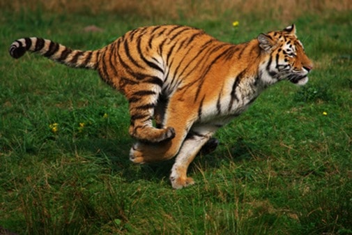tiger chasing thumb So, You Want To Quit Your Job? (Fantasy Versus Reality)