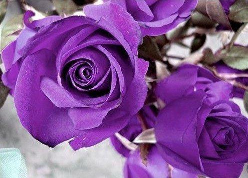 purple rose image