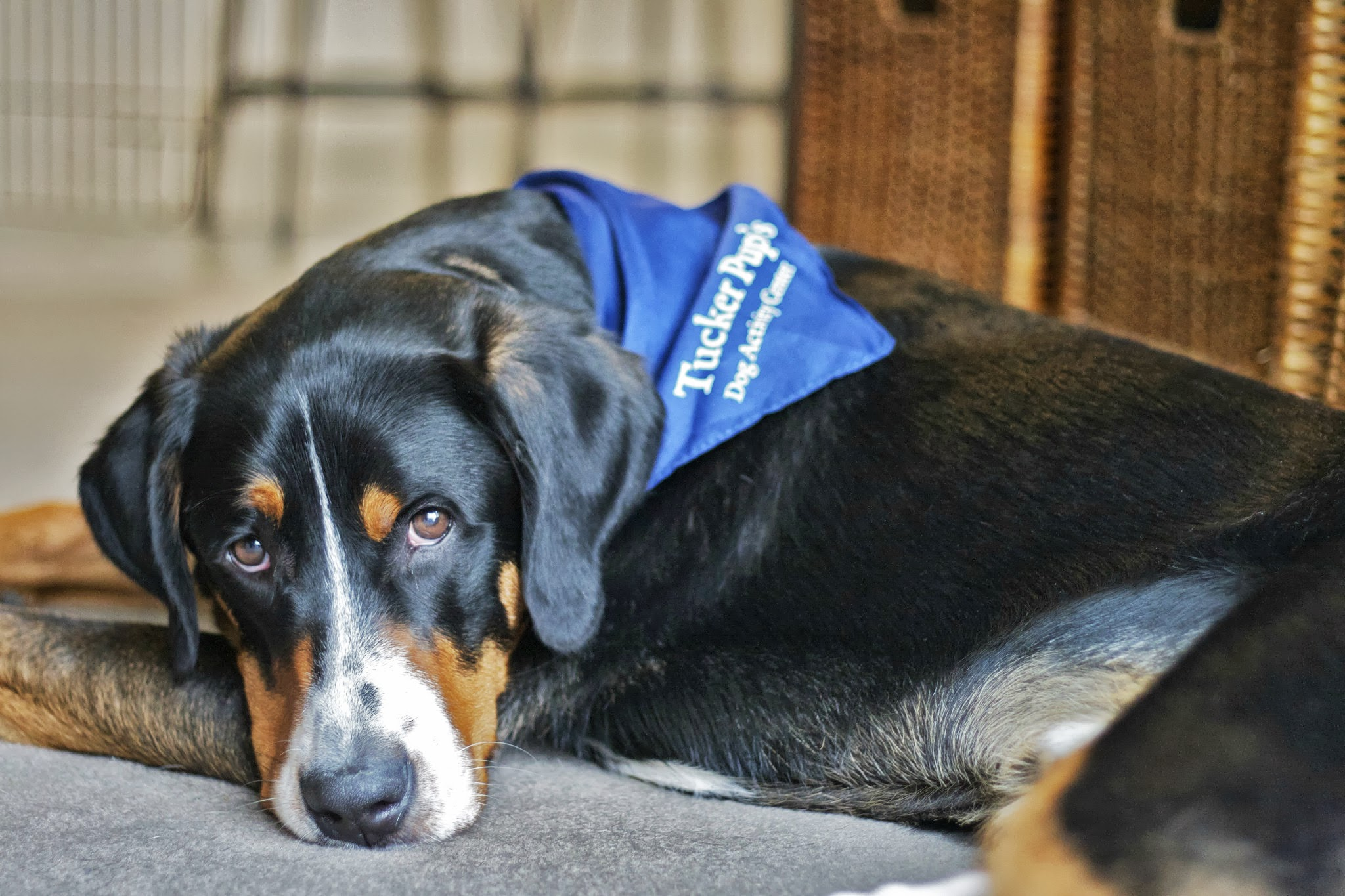 Classy Er Swiss Mountain Dog Sad Dog Diary Sad Dog Diary Simply Social Blog Sad Dog Diary Quotes Sad Dog Diary Zefrank bark post Sad Dog Diary