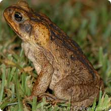 Cane Toad on Grass. Image from SamFraser-Smith, National Wildlife Federation, www.nwf.org