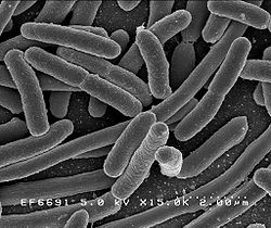 Scanning electron micrograph of Escherichia coli, grown in culture and adhered to a cover slip. Credit: Rocky Mountain Laboratories, NIAID, NIH