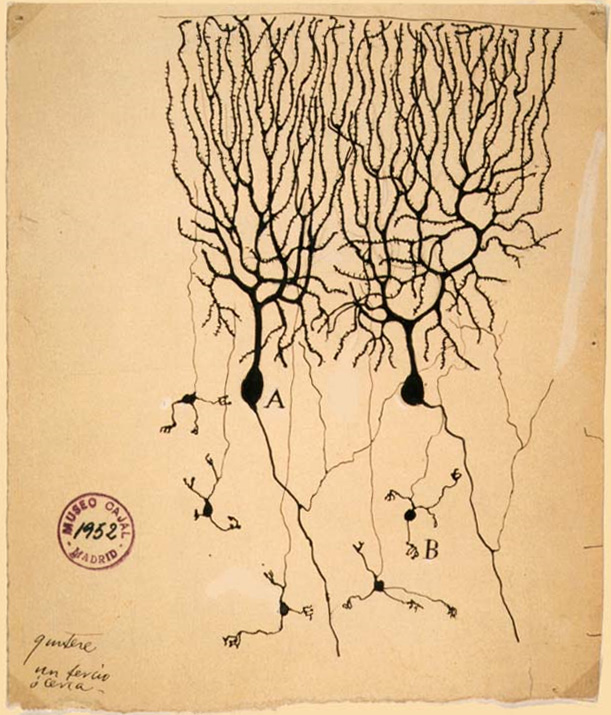 Drawing of neurons from the cerebellum. From http://en.wikipedia.org/wiki/Neuron#mediaviewer/File:PurkinjeCell.jpg