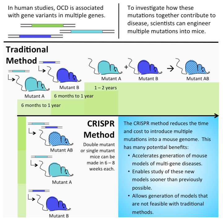 Figure 3: Timeline of CRISPR compared to a traditional genome editing technique. For diseases like OCD that are known to be caused by more than one genetic mutation, making model organisms with multiple genetic mutations is crucial to understanding the disease. With traditional genome editing methods, it might take up to three years to create a mouse model with two genetic mutations, with CRISPR, scientists can create a mouse model with one, two, or even more genetic mutations in as little as six weeks!