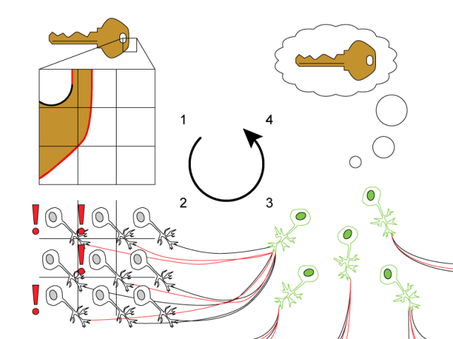 "Figure 2. Neurons in visual cortex recognize an image of a key by performing successive simple processes. From top-left moving counterclockwise: 1) The image is broken down into many very small parts, each of which is examined by a different neuron. 2) Neurons corresponding to each part of the image, called simple cells, seek edges of a certain orientation. These ones are detecting vertical edges, and respond (shown with an ""!"") if their section contains a vertical line (highlighted in the image with a red line). 3) Complex cells pool responses from many simple cells to report whether or not there are any vertical edges in their domain. 4) Successive processes very similar to this eventually give rise to the abstract idea of ""an image of a key."""