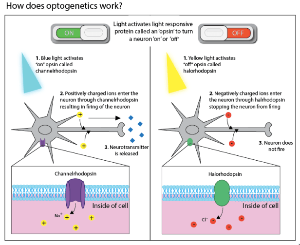 Figure 2: How does optogenetics work? Left panel: Turning a neuron on. Blue light activates the 'on' opsin resulting in the neuron firing and releasing neurotransmitter. Right panel: Turning a neuron off. Yellow light activates the 'off' opsin preventing the neuron from firing.