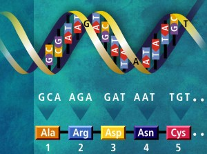 Figure 1: The genetic code defines how information goes from DNA (top) to proteins (bottom). Here the DNA sequence GCA AGA GAT AAT TGT is translated as five amino acids: Alanine (Ala), Arginine (Arg), Aspartic Acid (Asp), Asparagine (Asn) and Cysteine. Image from Wikicommons (Public Domain)