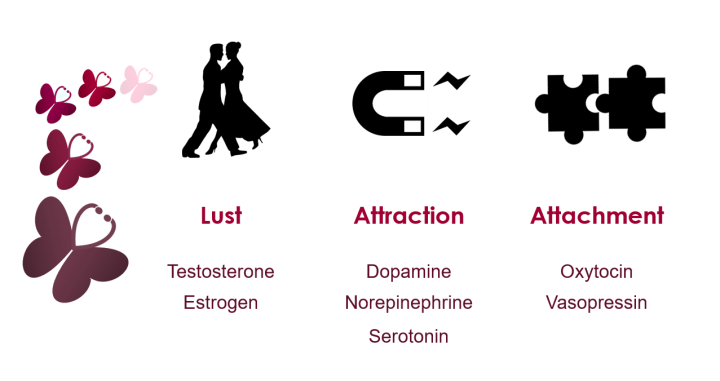 Table 1: Love can be distilled into three categories: lust, attraction, and attachment. Though there are overlaps and subtleties to each, each type is characterized by its own set of hormones. Testosterone and estrogen drive lust; dopamine, norepinephrine, and serotonin create attraction; and oxytocin and vasopressin mediate attachment.