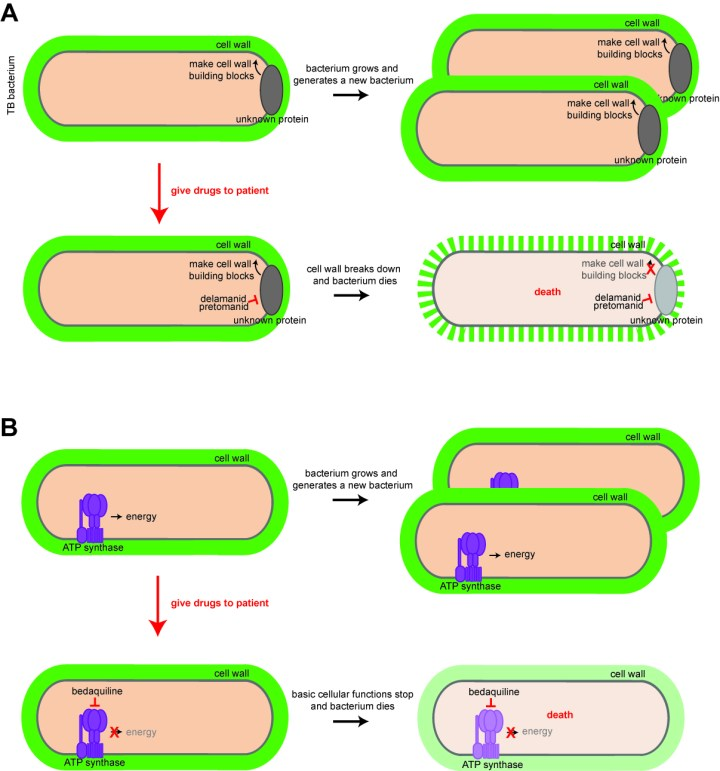 "Figure 2. New drugs take out TB. A) Pretomanid and delamanid kill cells in a ""classic"" method by inhibiting synthesis of the bacterial cell wall. These drugs block the activity of an as yet unknown protein involved in making the cell wall. Blocking its function causes abnormalities in cell wall assembly, and the bacterium dies. B) Bedaquiline kills bacteria by binding to a subunit of the energy-generating machine of the cell, known as ATP synthase. This blocks the ability of ATP synthase to generate energy, and without energy, bacteria fail to execute basic cellular functions and die."