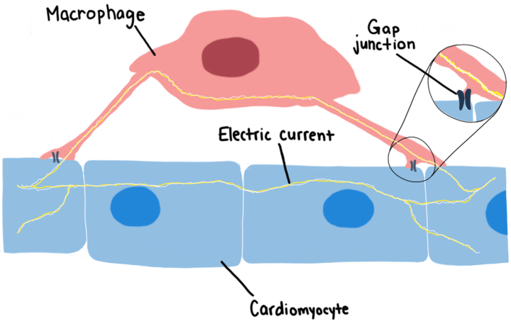 Figure 2: Heart-resident macrophages and cardiomyocytes are physically connected by channel-like structures known as gap junctions. This physical interaction allows for the coordinated and synchronous propagation of electrical signals that drive the heart to contract during a normal heartbeat.