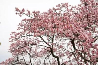 綾部山梅林の梅の見頃や開花状況2016と駐車場は?