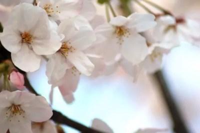 醍醐桜2016の開花情報や見頃と駐車場やアクセス方法!