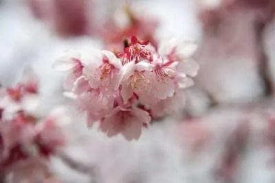 三春滝桜2016の開花状況や見頃と駐車場やアクセス方法!