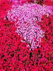 みさと芝桜公園芝桜まつり2016と開花情報や見頃!アクセスは?