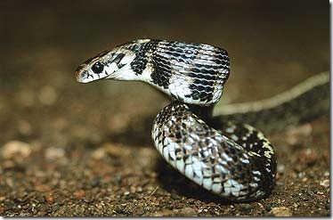 Species_Snake