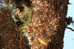 Butterflies roosting on tree trunk