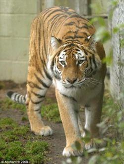 Сибирская тигрица Малышка