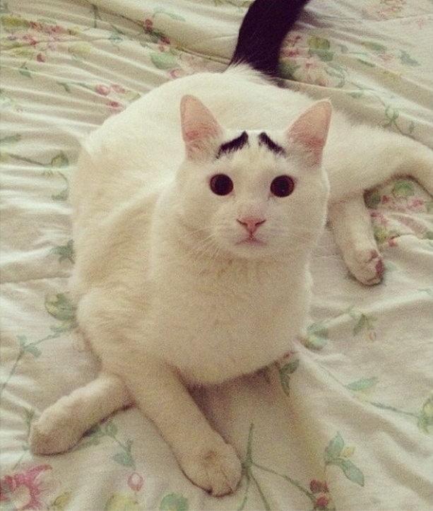 кошка с бровями