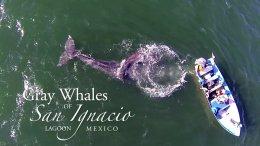 The Gray Whales of San Ignacio Lagoon
