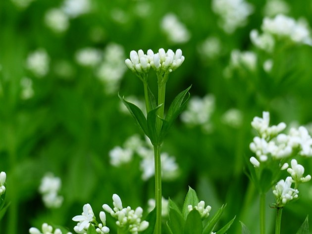 woodruff flower