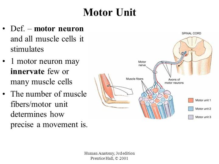 Modern Anatomy Motor Unit Pictures Anatomy And Physiology Biology