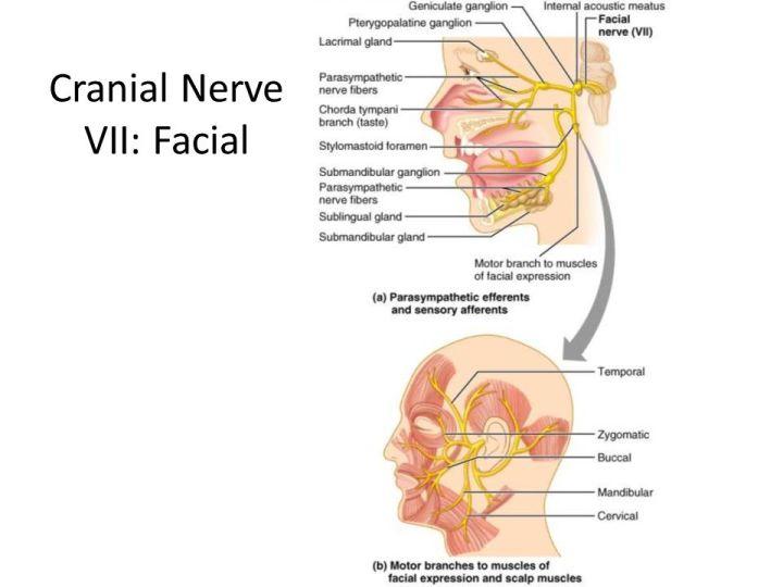 Cranial Nerve 7 Sensory Or Motor Caferacersjpg
