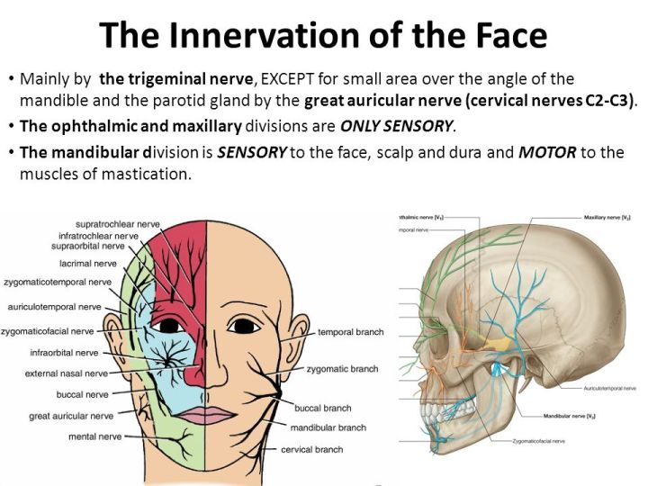 Motor Innervation Of The Face Caferacersjpg