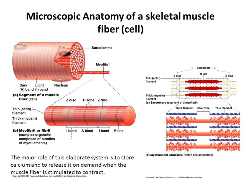 Outstanding Microscopic Anatomy Of A Skeletal Muscle Illustration ...