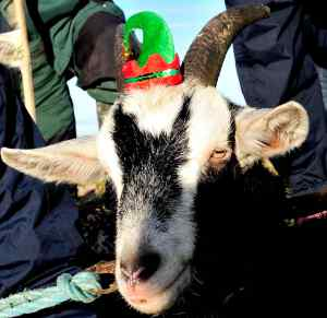 Nelly the Imbolc Goat for 2015