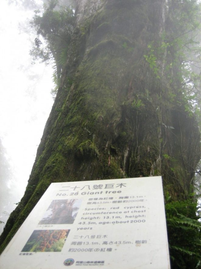 2,000 year old tree in Alishan, Taiwan