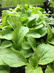 Napa Cabbage Starts