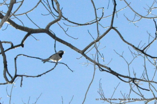 We spotted lots of mountain chickadees along the snowshoe trail