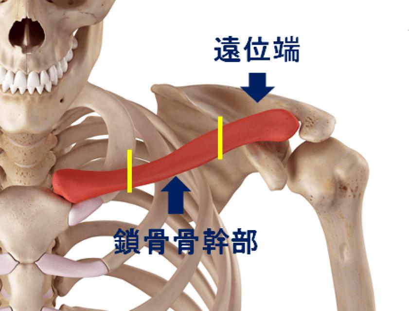鎖骨の分類