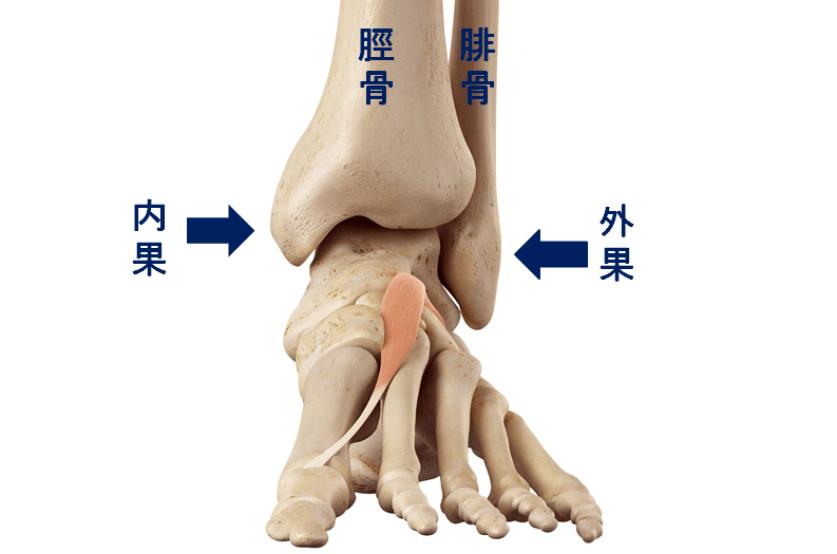 足首の図 内果と外果