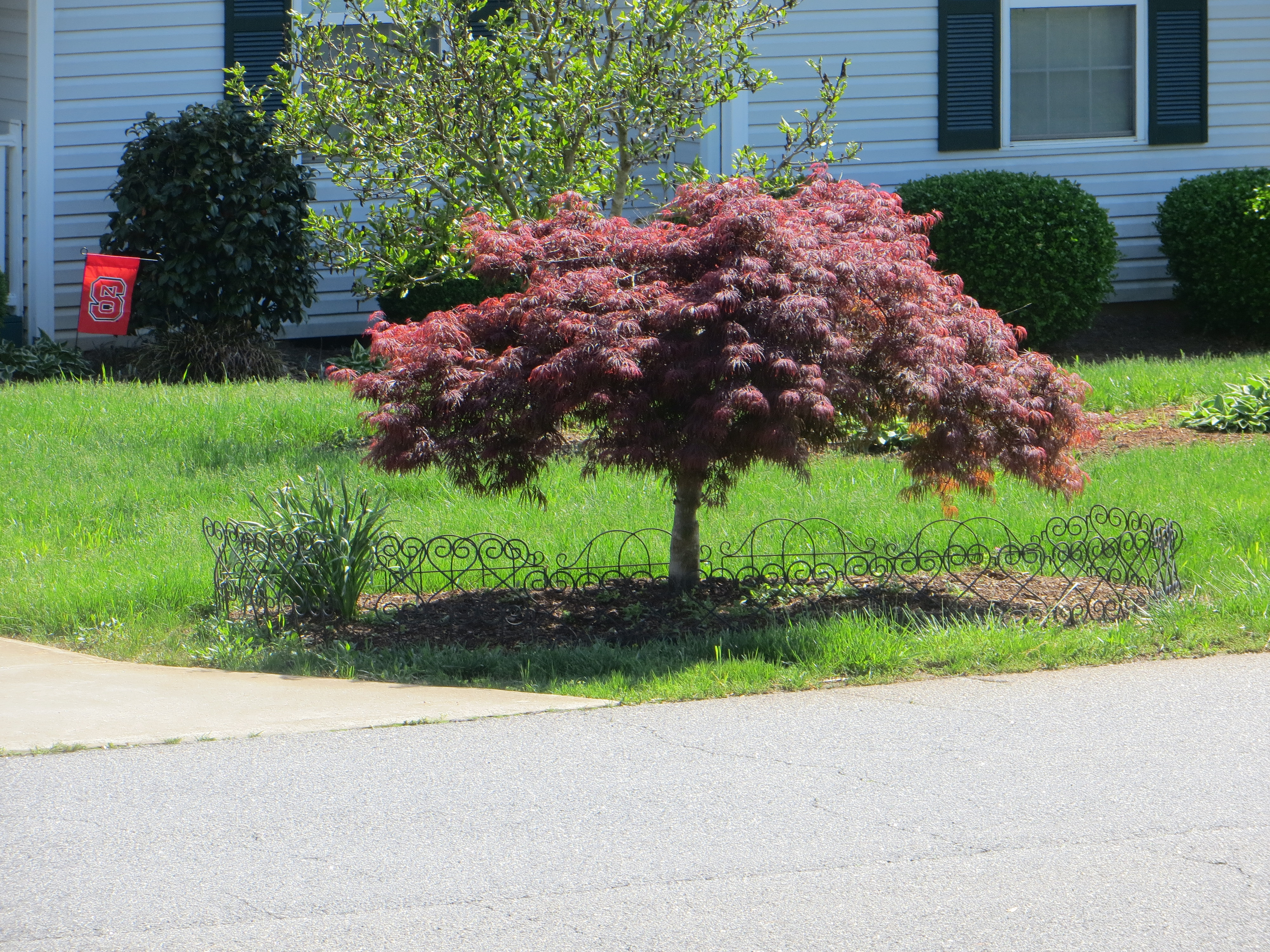 Regaling A Yard Japanese Maples So Does That Mean Dwarf Japanese Maple Tree Nz Dwarf Japanese Maple Tree Zone 5 A Dwarf Japanese Maple houzz-02 Dwarf Japanese Maple Tree
