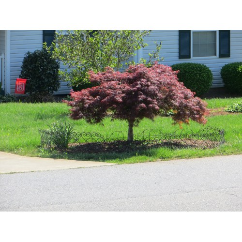 Medium Crop Of Dwarf Japanese Maple Tree