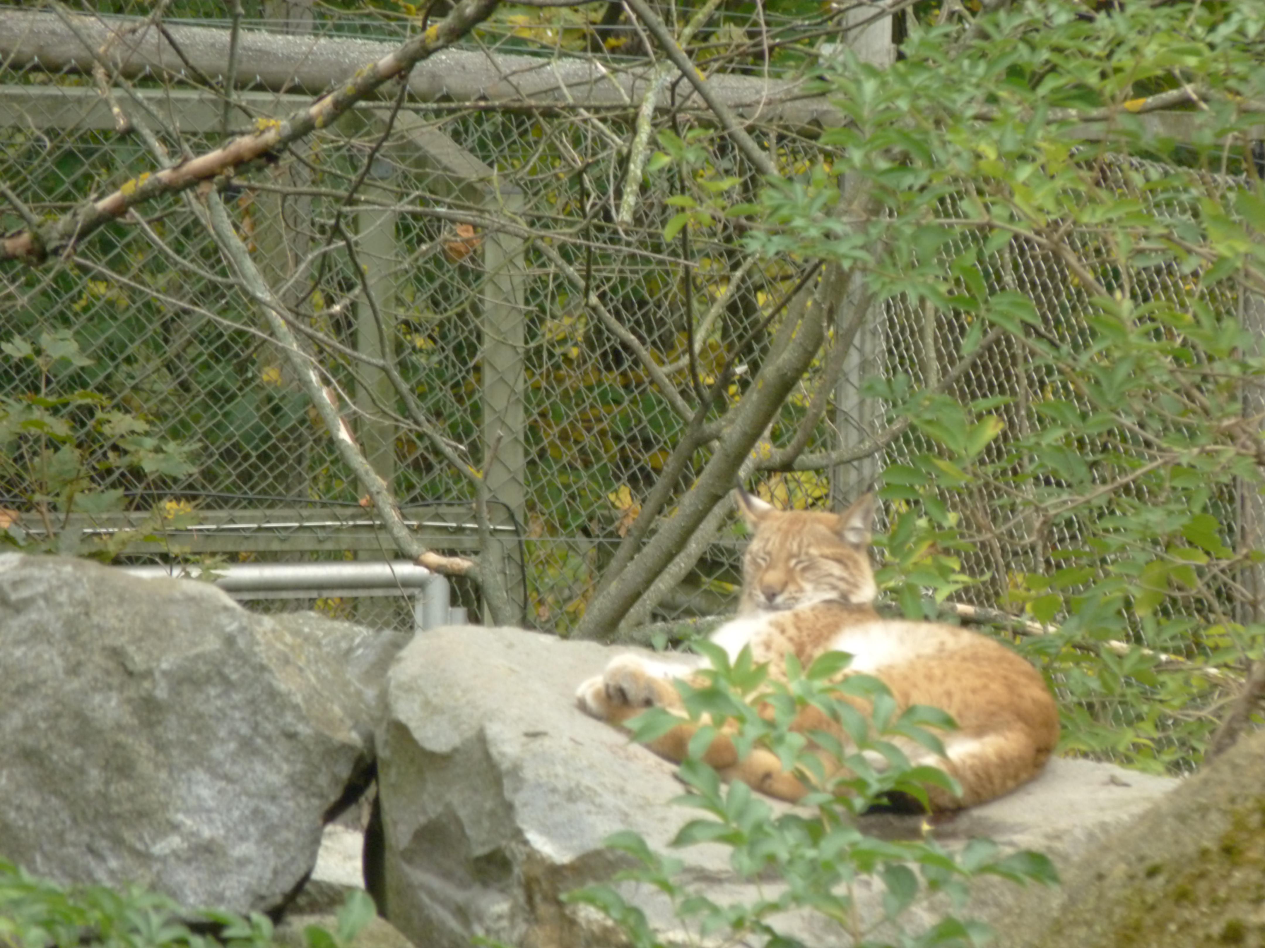 Lynx choupinou (Skansen)