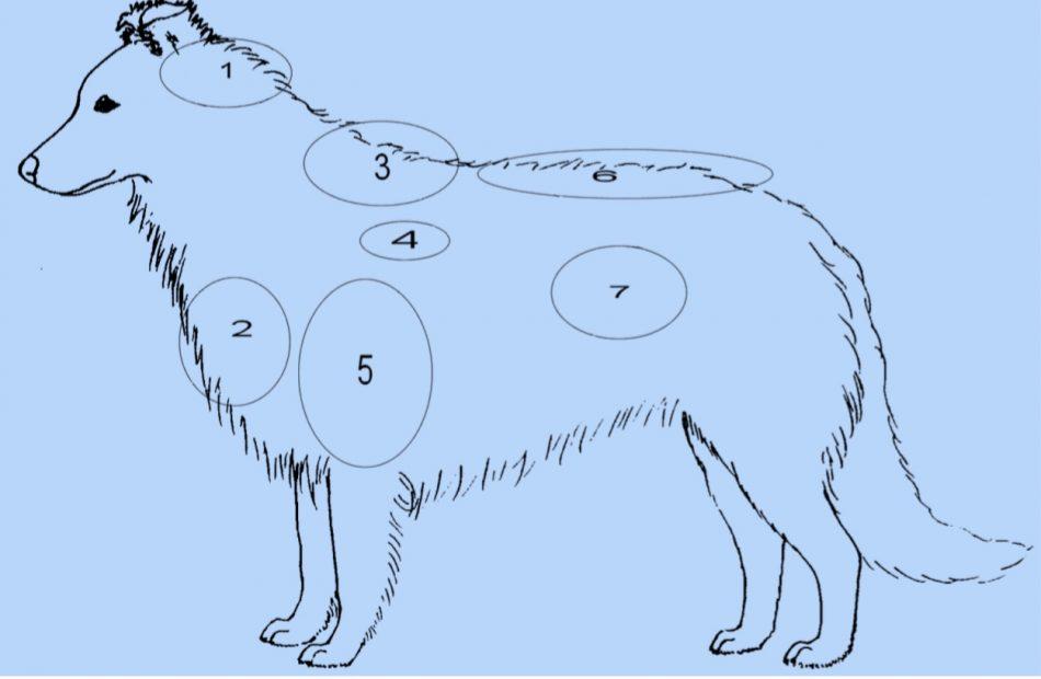 Massage du chien, les zones de tension