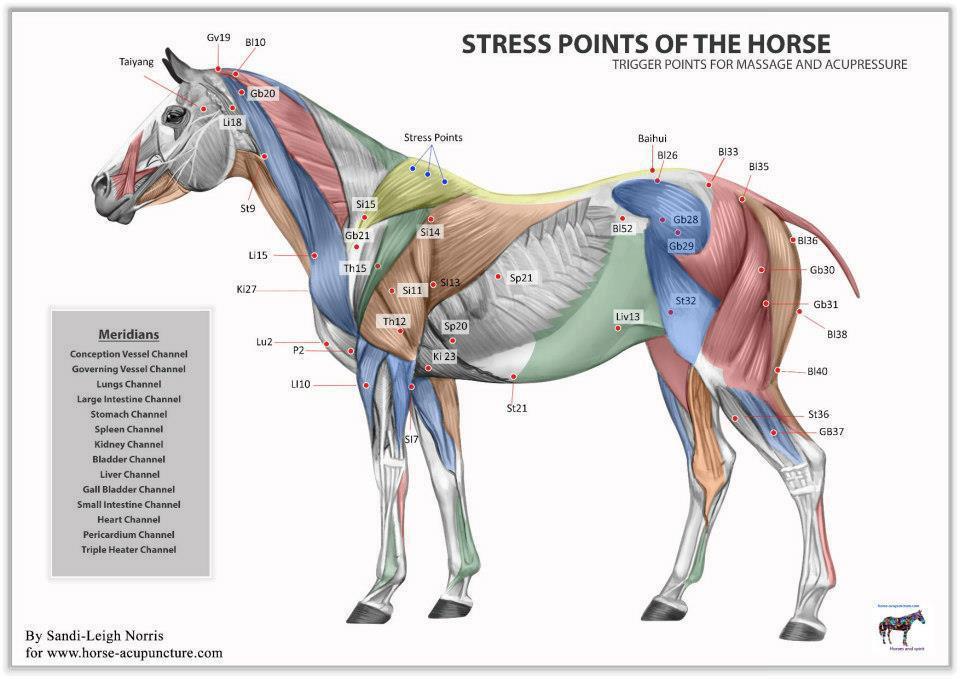 repérer et masser les points de tensions du cheval