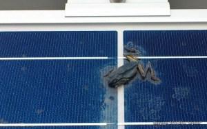 ソーラーパネル上で干上がった蛙