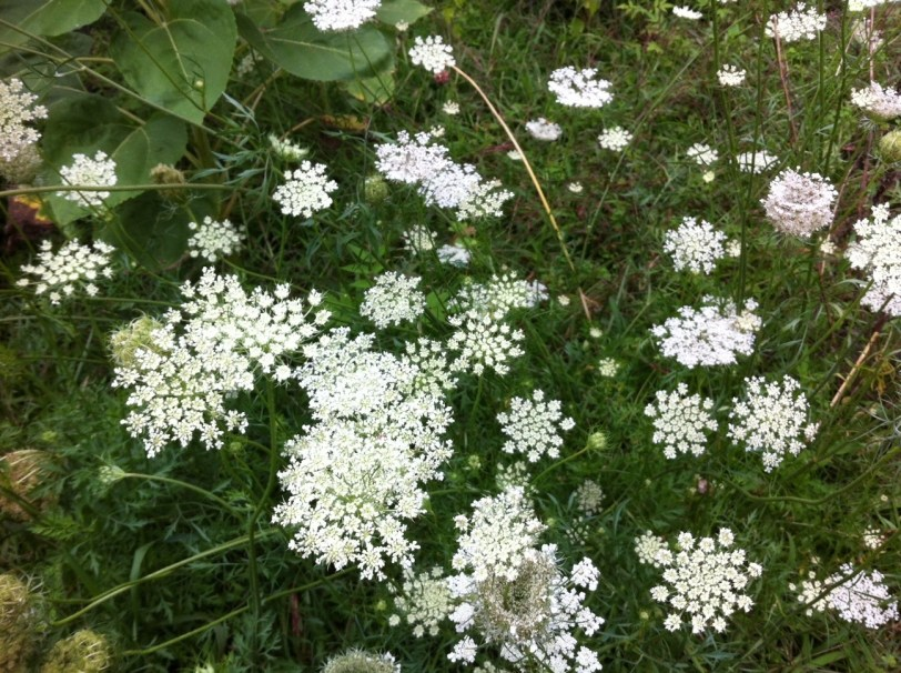 Queen Anne's Lace Flowers, Nothing to do With Dating But They Sure Are Pretty, Lancaster, N.Y., Aug. 2014