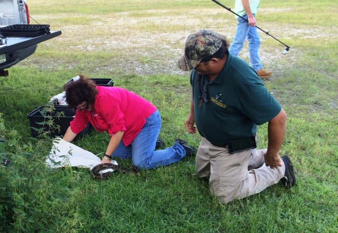 Bagging Up a Burmese Python During the FWC In-Person Training, Oct. 24, 2015.