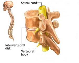 Spinal cords and nerves