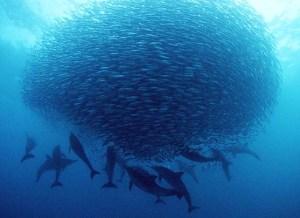 Sardine swarm